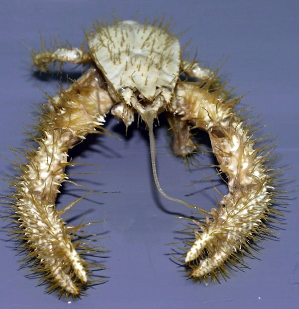 The hairy-looking Yeti Crab