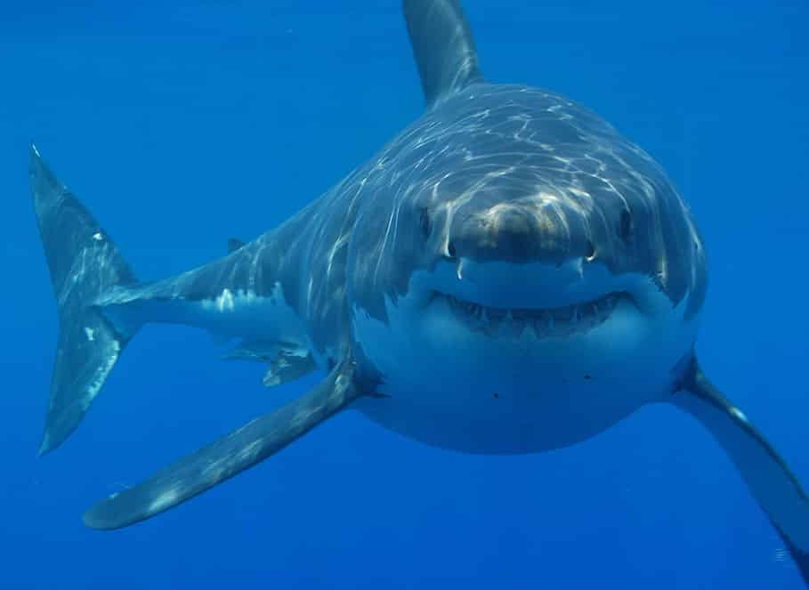 Great White Shark - the basis of the film Jaws