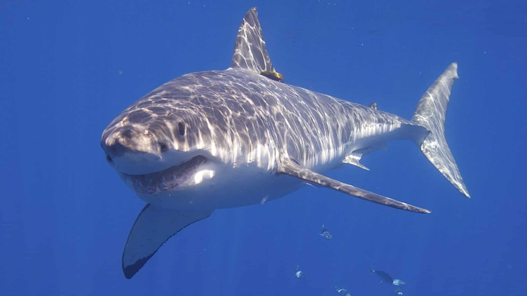 The scary and equally massive Great White Shark