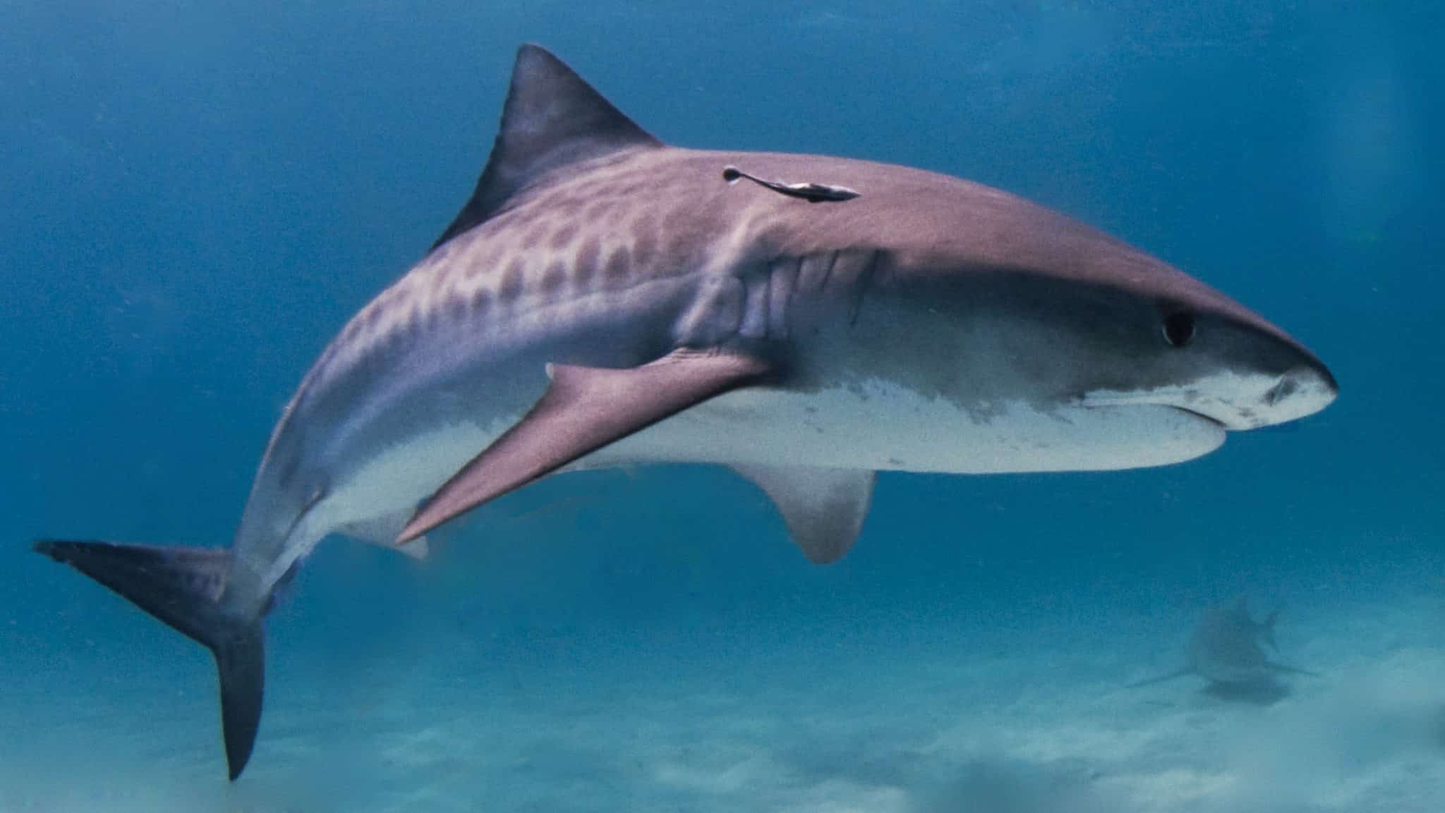 The large shark specifies: Tiger Shark