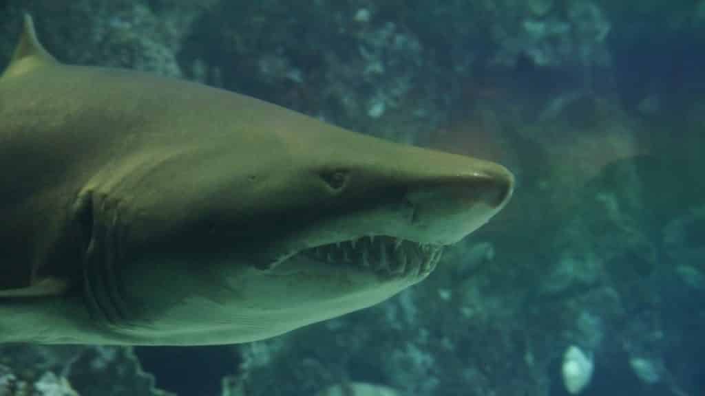 Shark with mouth opening while swimming