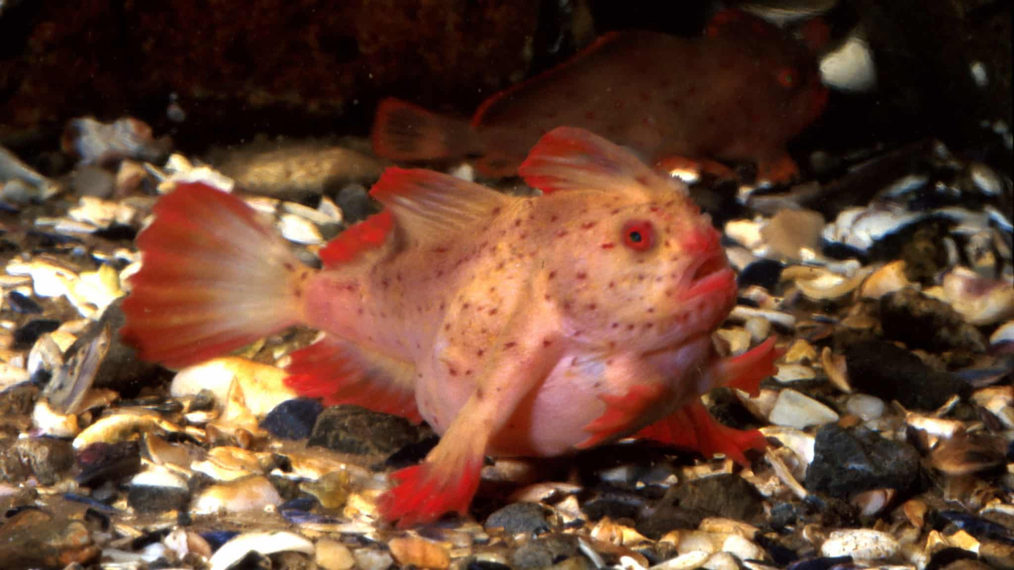 The unusual Red Handfish