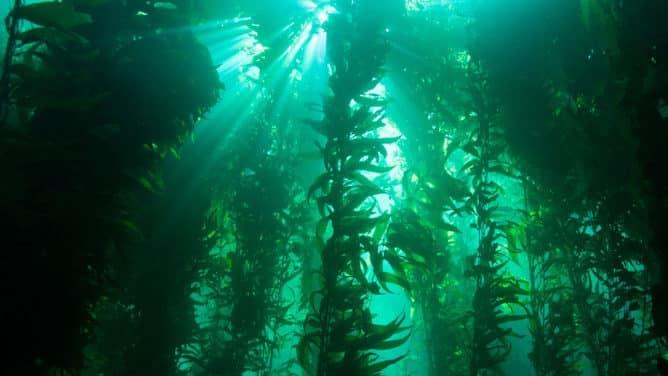 The long and strange Kelp Marine Plant