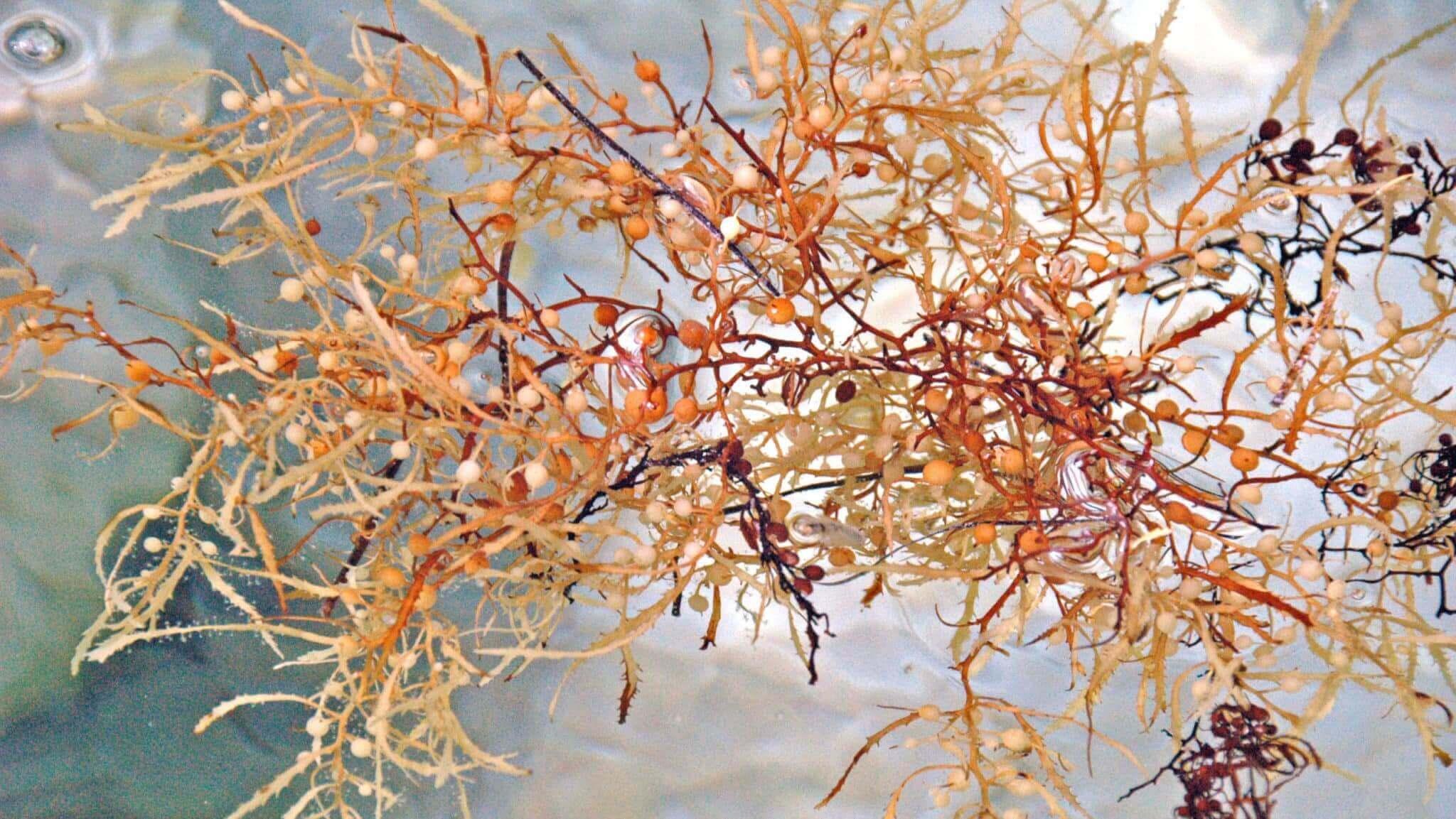The Sargassum comes in abundance across the ocean