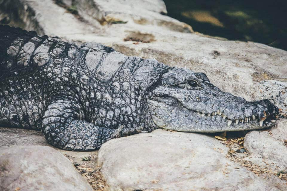 A Crocodile has a more aquatic lifestyle