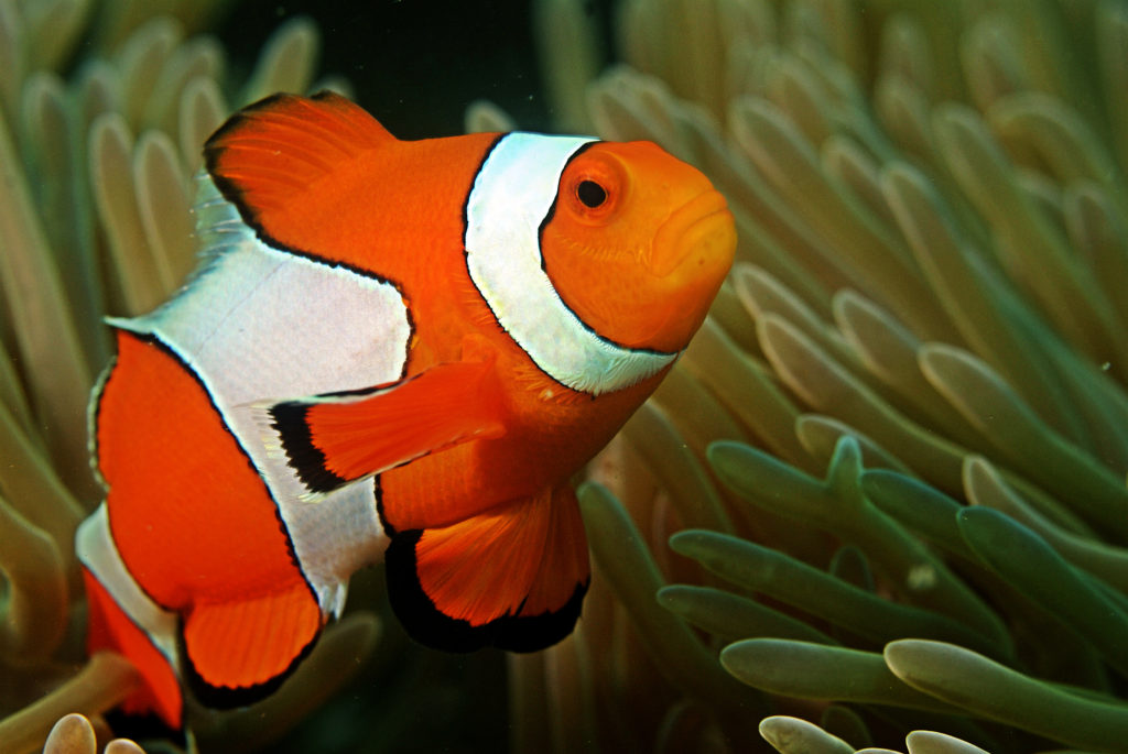 Clownfish live anemone's stinging tentacles, as a form of protection