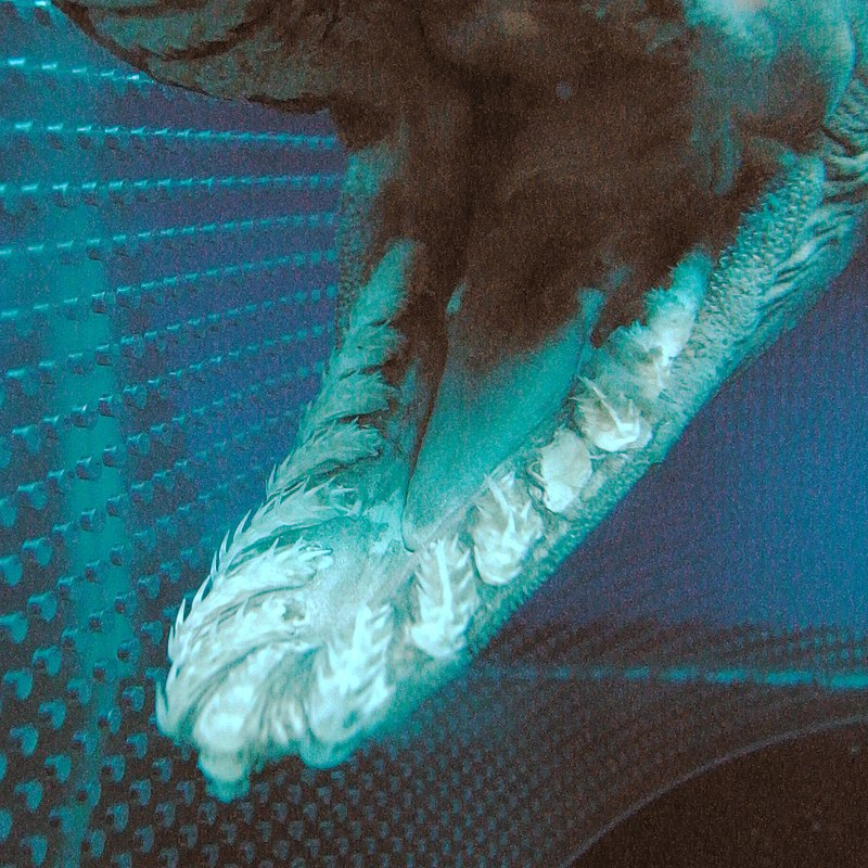 Mouth of a frilled shark