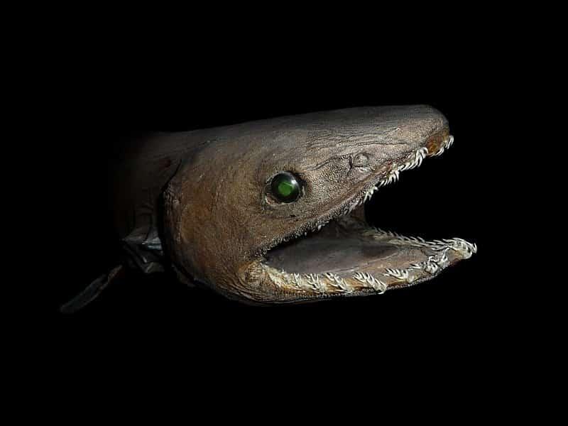 Frilled shark habitat consists being on the ocean floor