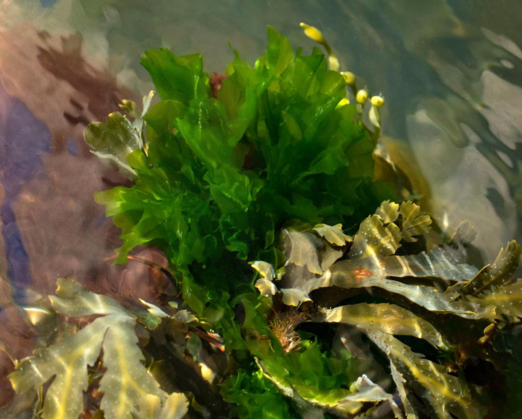 Example of sea lettuce