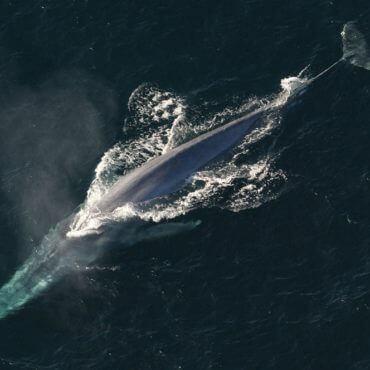 Blue Whale Underwater