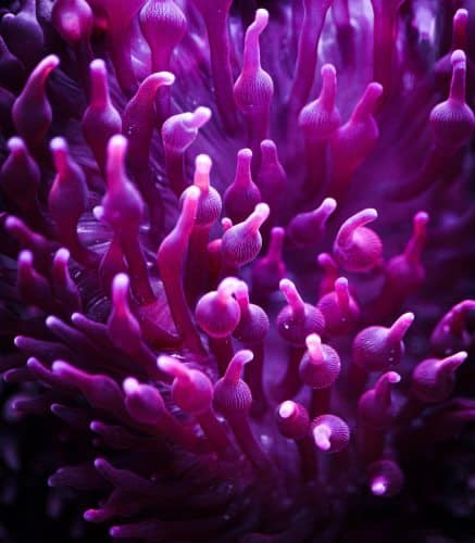 Bubble tip anemone (part of the anemone family)