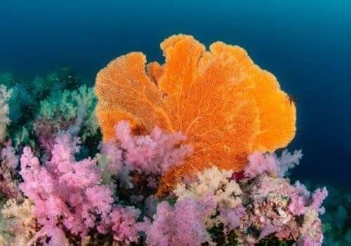 Sea fan on coral reef