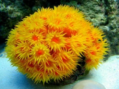 Sun corals usually found on shipwrecks and hard coral reefs