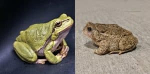 Toad vs Frog differences
