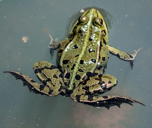A frog on the surface of a pond