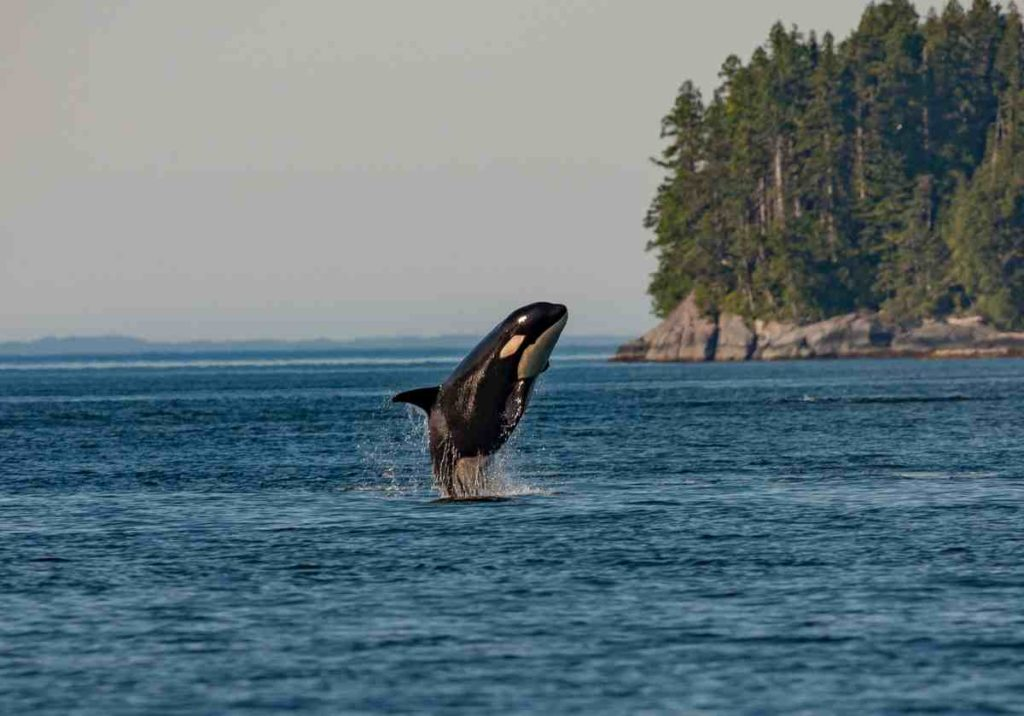 A Killer Whale jumping out of the waters near a coast