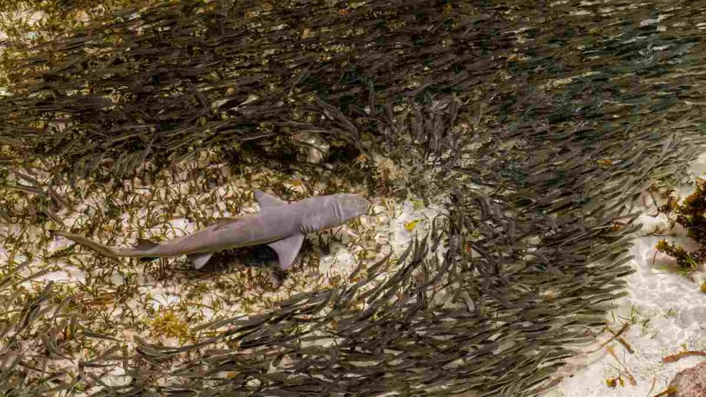 A Nurse Shark swimming close to the ocean floor bed