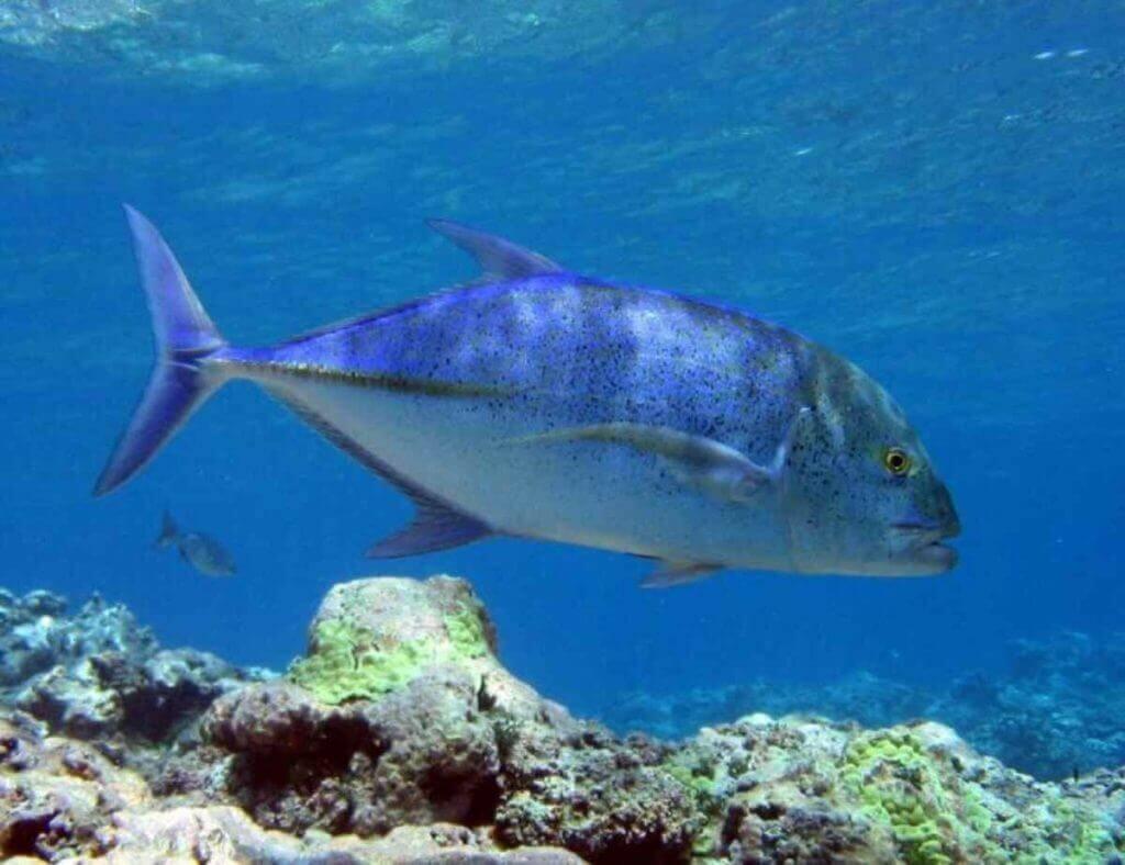 Bluefin tuna swimming near a coral reef