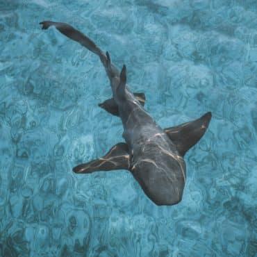 Lone Nurse Shark swimming in shallow water