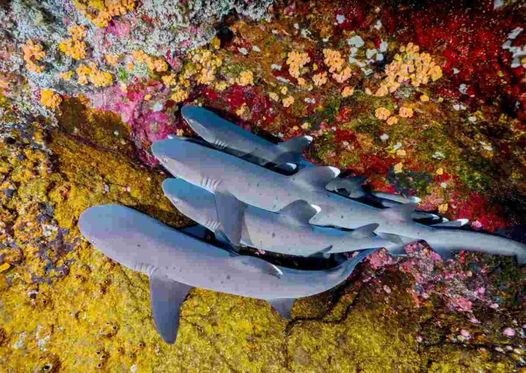 Nurse Sharks resting together in a pile on coral reef