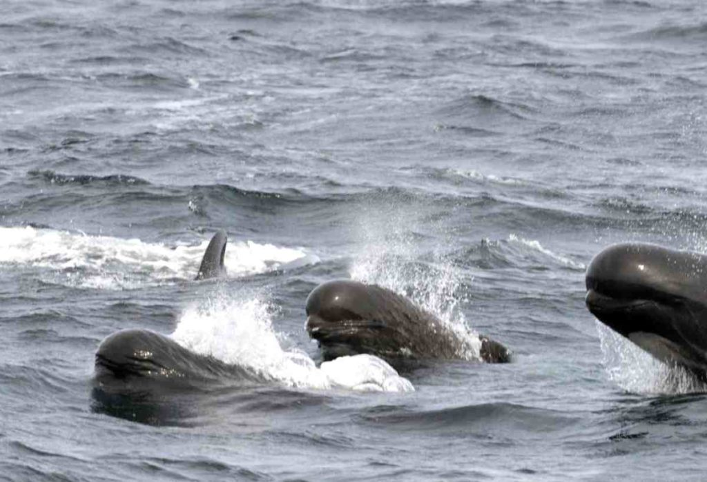 Pilot whales swimming together in pods