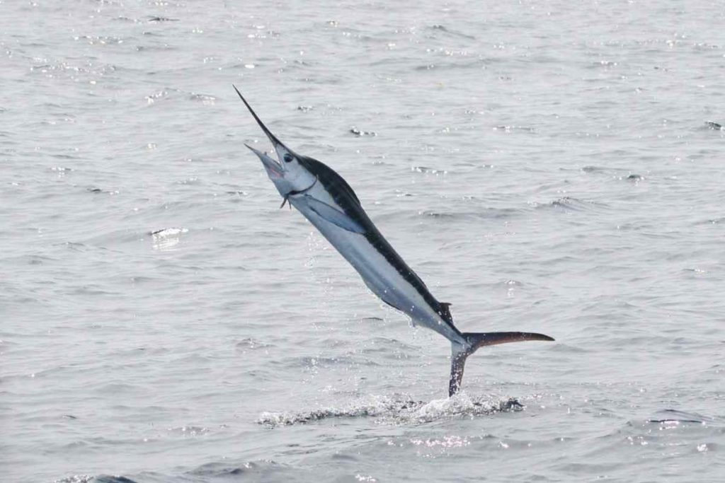Stripped Marlin jumping out of the ocean waters