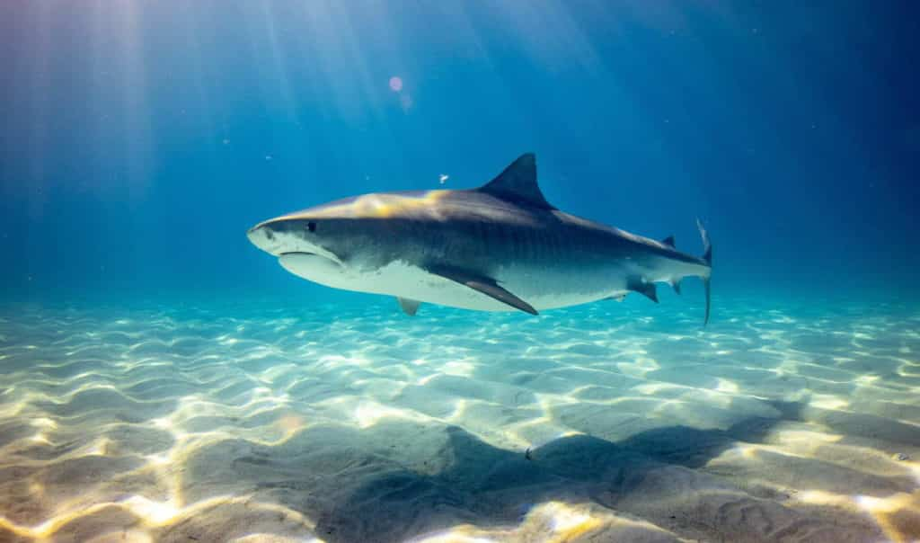 An example of a shark countershading