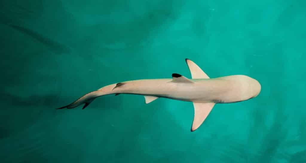 Shark swimming birds eye view