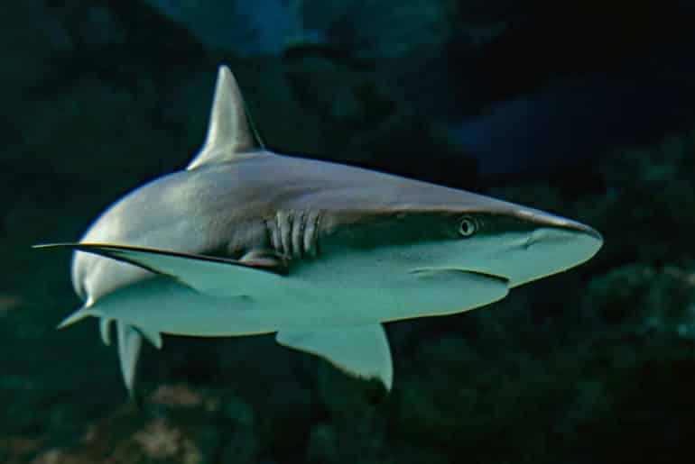 Reasons why sharks are the ultimate ocean predator