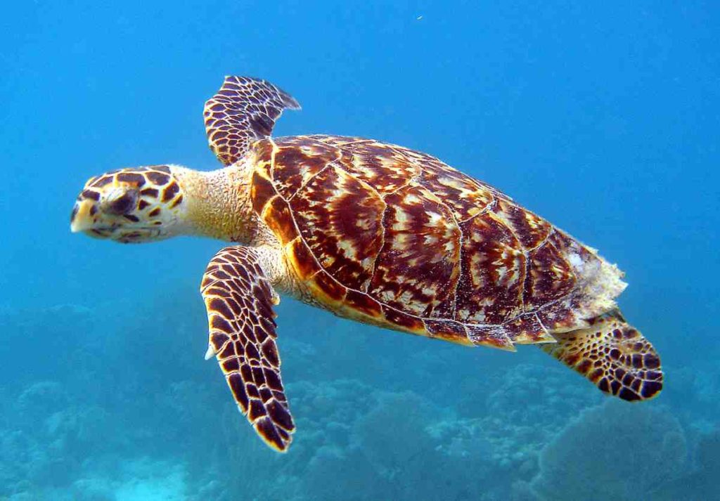 A hawksbill turtle with a beautifully designed shell