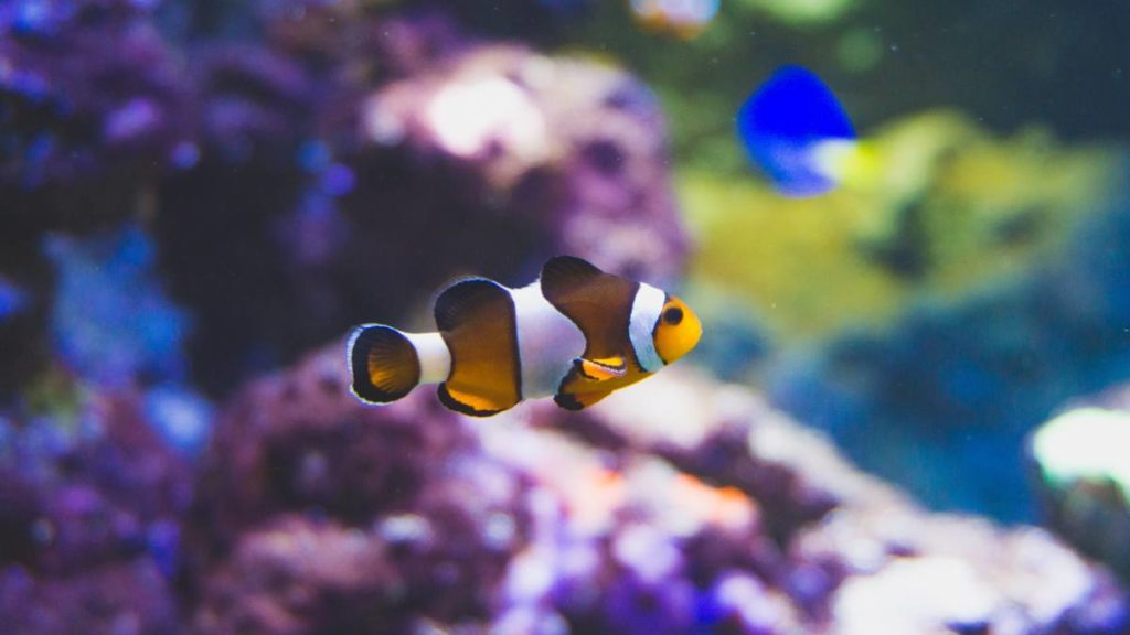 A male clownfish swimming around coral reefs