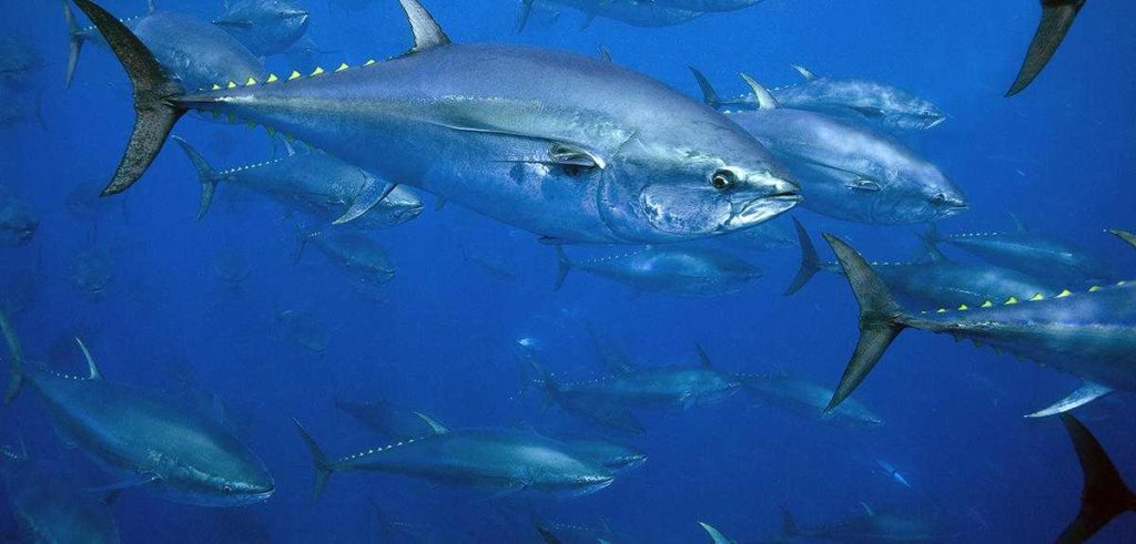 Bluefin tuna have been made almost instinct due to commercial fishing