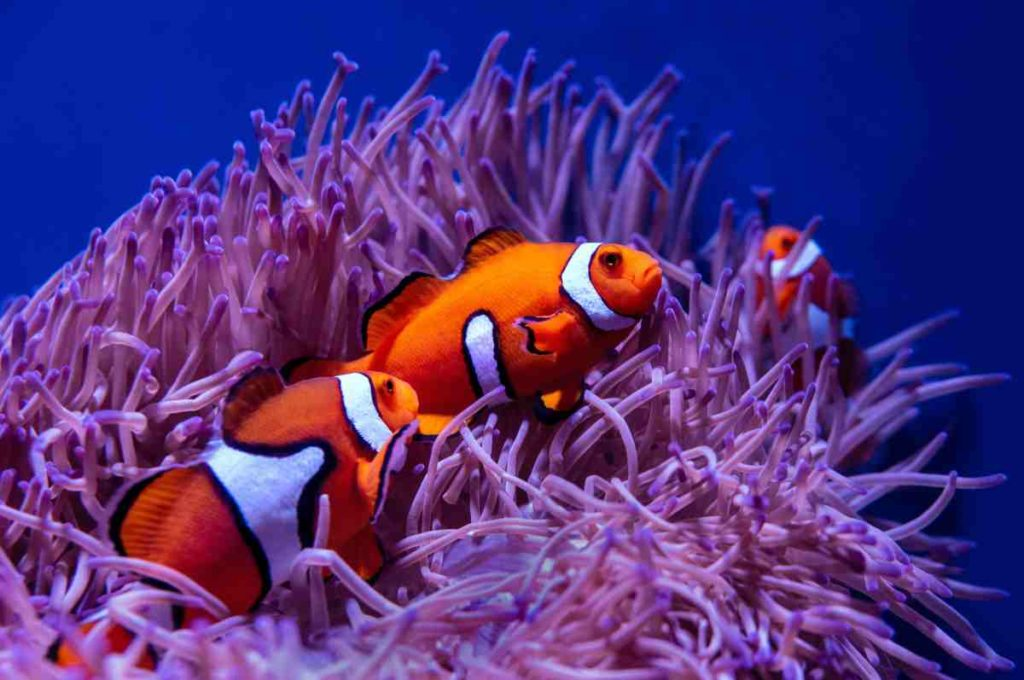 Clownfish family living in an anemone