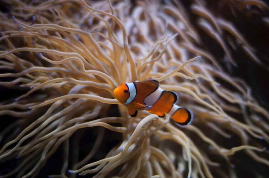 Clownfish swimming near anemone