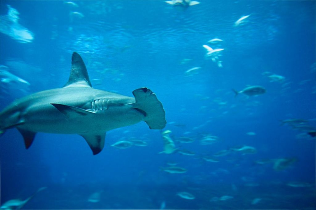 Hammerhead shark swimming amidst other fishes in coral reefs