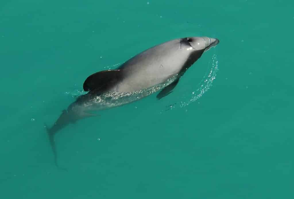 Hector's Dolphin photographed swimming above the water