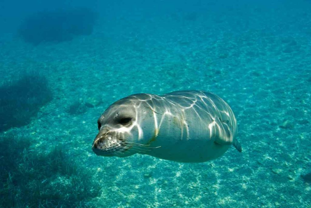 An estimated 500 Monk Seals remain in the wild