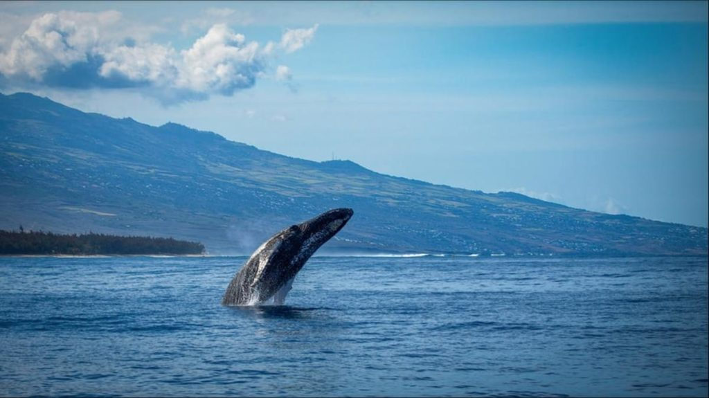 A blue whale jumping out of the ocean