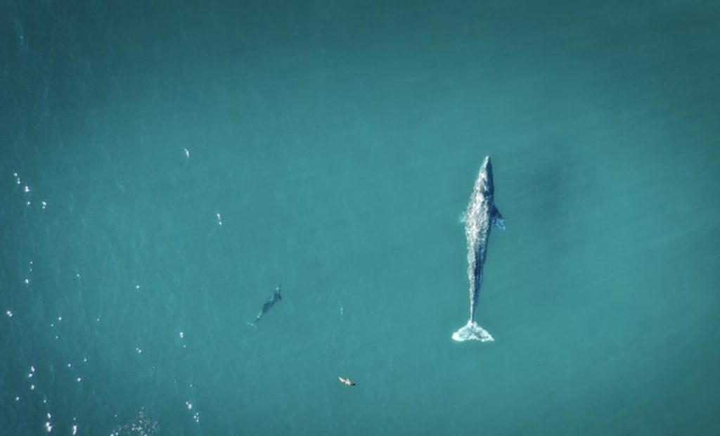 Birds eye view of a blue whale