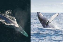 Blue Whale vs Humpback Whale