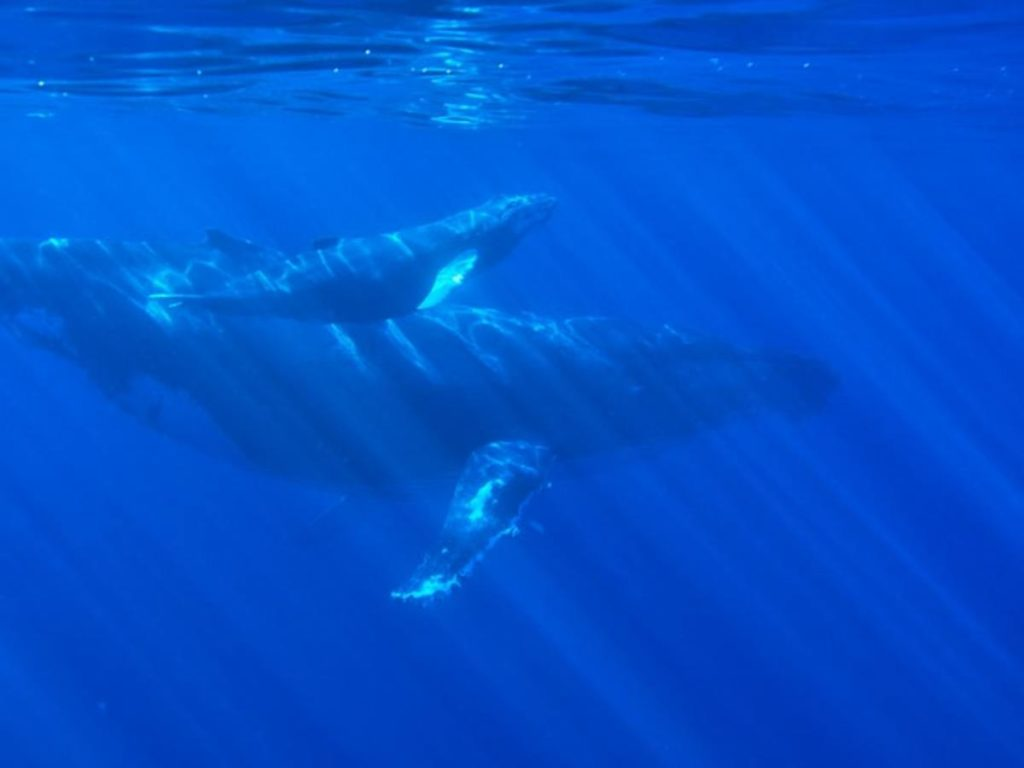 A humpback whale and baby swimming