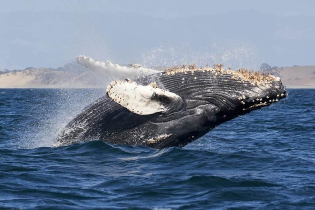 Humpback whale with distinctive tubercles