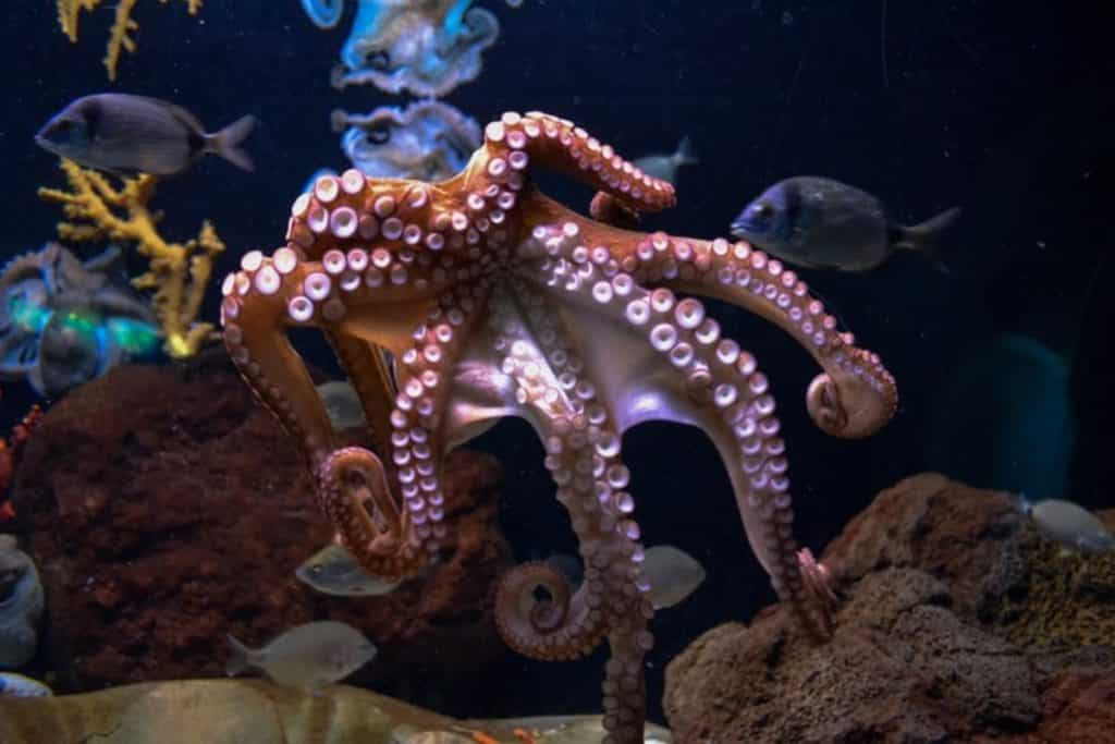 A pink octopud