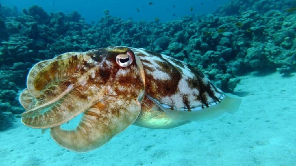 Squid in blue water