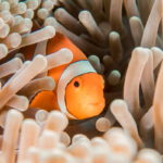 A Clownfish taking shelter in Anemone