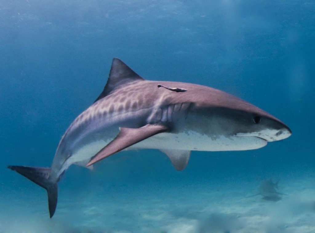 Full length of a Tiger Shark with fading stripes