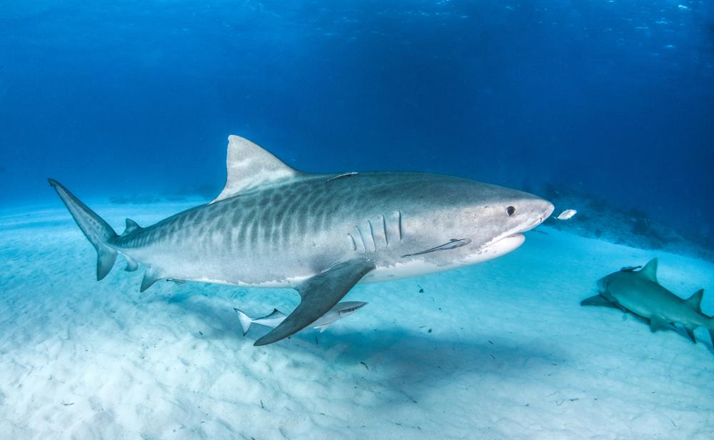Juvenile Tiger Shark with clearly seen stripes