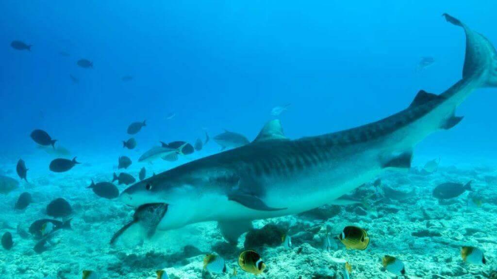 Tiger shark eating a tuna