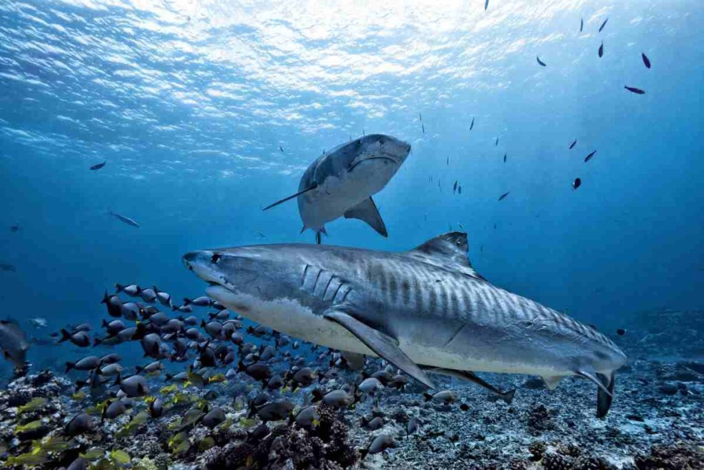 Tiger sharks on coral reefs