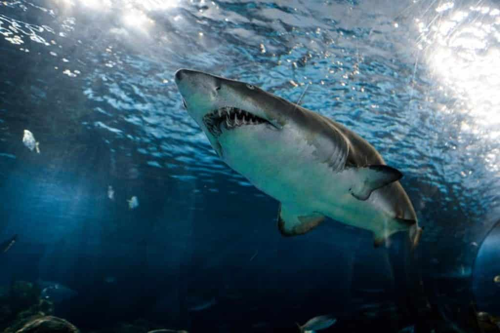 A Great White Shark swimming from below